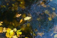 Красочный конец-вверх листьев осени на холодном открытом море, желтом на сини, пульсации круга на поверхности воды Приходить осен Стоковая Фотография