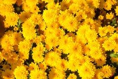 Красочный конец-вверх хризантемы заводы phloxes сада цветков предпосылки Стоковая Фотография