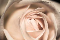 Красочный, красивый, чувствительный поднял Стоковая Фотография RF