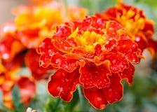 Красочный красный цвет цветка георгина Стоковое фото RF