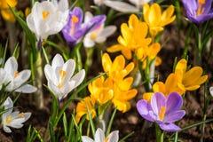 Красочный крокус на flowerbed стоковое изображение rf