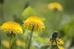 Красочный крупный план с листьями цветня желтых цветений одуванчика в солнечном свете лета Стоковое Изображение
