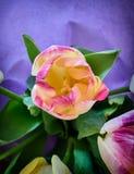 Красочный крупный план цветка тюльпана Стоковые Фото