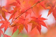 Красочный кленового листа Стоковое Изображение RF