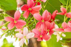 Красочный матрос Drunen цветка, creeperQuisqualis Рангуна Indica Стоковые Изображения RF