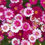 Красочный малый крупный план хризантем стоковое фото rf