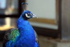 Красочный мужской портрет павлина Стоковое Изображение RF