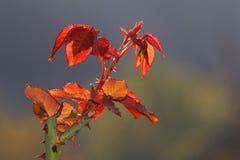 Красочный новый рост на кусте роз Стоковое фото RF