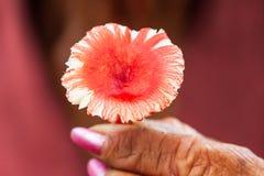 Красочный одичалый красный гриб в красивых пальцах, одичалое красное mushro Стоковая Фотография RF