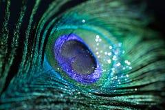 Красочный павлин пера Стоковое Фото