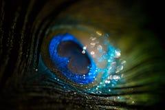Красочный павлин пера Стоковая Фотография RF