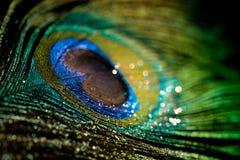 Красочный павлин пера Стоковое фото RF