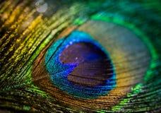 Красочный павлин пера Стоковые Изображения