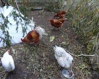 Красочный петух среди белых цыплят Стоковая Фотография RF