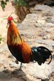Красочный петух. стоковые фото