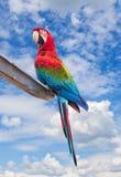 Красочный попугай ары шарлаха Стоковые Изображения