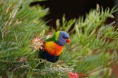 Красочный попугай в Австралии стоковое изображение rf