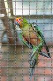Красочный попугай в клетке Стоковые Изображения