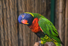 Красочный попугай Lorikeet Стоковые Изображения