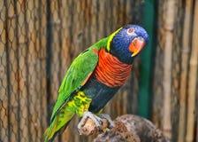 Красочный попугай Lorikeet Стоковое Изображение