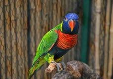 Красочный попугай Lorikeet Стоковое Изображение RF
