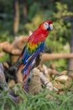 Красочный портрет попугая ары Амазонки красного против джунглей Взгляд со стороны одичалой головы попугая на зеленой предпосылке  Стоковое Фото