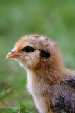 Красочный профиль цыпленока стоковые фото