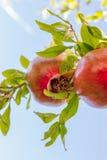 Красочный плодоовощ гранатового дерева против неба на ветви дерева Стоковые Фотографии RF