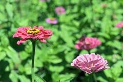 Красочный сад африканских маргариток стоковое фото rf