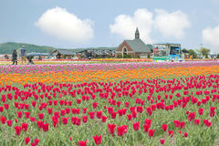 Красочный сада тюльпана на парке тюльпана Kamiyubetsu, Хоккаидо, Ja стоковая фотография rf