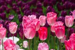 Красочный тюльпан цветет цветене в саде стоковые изображения rf