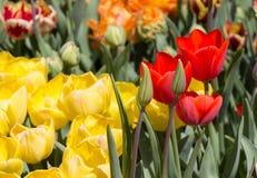 Красочный тюльпан цветет цветене в саде стоковое изображение rf
