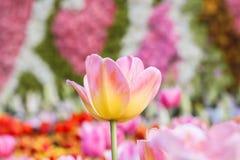 Красочный тюльпан в саде Стоковое Изображение RF