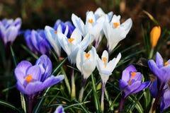 Красочный луг крокуса Белые, желтые и фиолетовые цветки весны Стоковое Фото