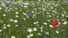 Красочный луг полевого цветка сток-видео