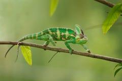 Красочный хамелеон идя на ветвь дерева с зеленой предпосылкой Ящерица хамелеона Йемена Стоковая Фотография