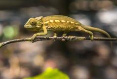 Красочный хамелеон Мадагаскара Стоковые Фотографии RF