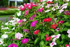 Красочный цветка roseus Catharanthus или periwindkle Мадагаскара Стоковое фото RF
