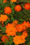 Красочный цветков космоса Стоковое Изображение RF