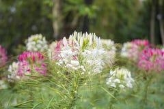 Красочный цветков паука в парке Стоковое Изображение RF