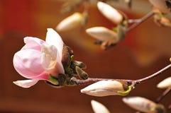Красочный цветок весны в Венгрии Стоковое Фото