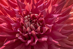 Красочный цветок георгина Стоковая Фотография RF