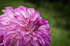 Красочный цветок георгина Стоковая Фотография
