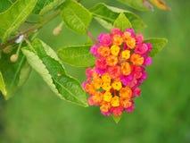 Красочный цветок изгороди Стоковая Фотография