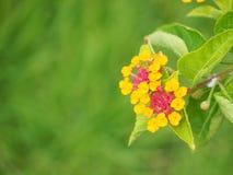 Красочный цветок изгороди Стоковое Фото