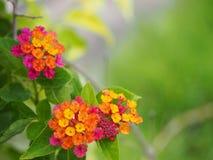 Красочный цветок изгороди Стоковая Фотография RF