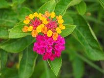 Красочный цветок изгороди Стоковое Изображение