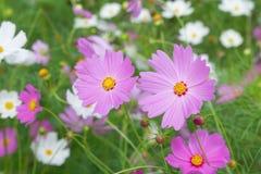 Красочный цветок космоса с предпосылкой сада нерезкости Стоковые Фото