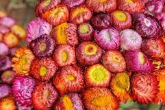Красочный цветок соломы Стоковые Изображения RF