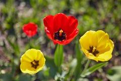 Красочный цветок тюльпана, цветок тюльпана и предпосылка листьев зеленого цвета с солнечным светом Стоковая Фотография RF